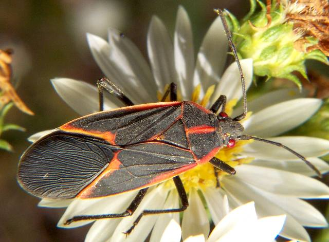 box elder bug 2