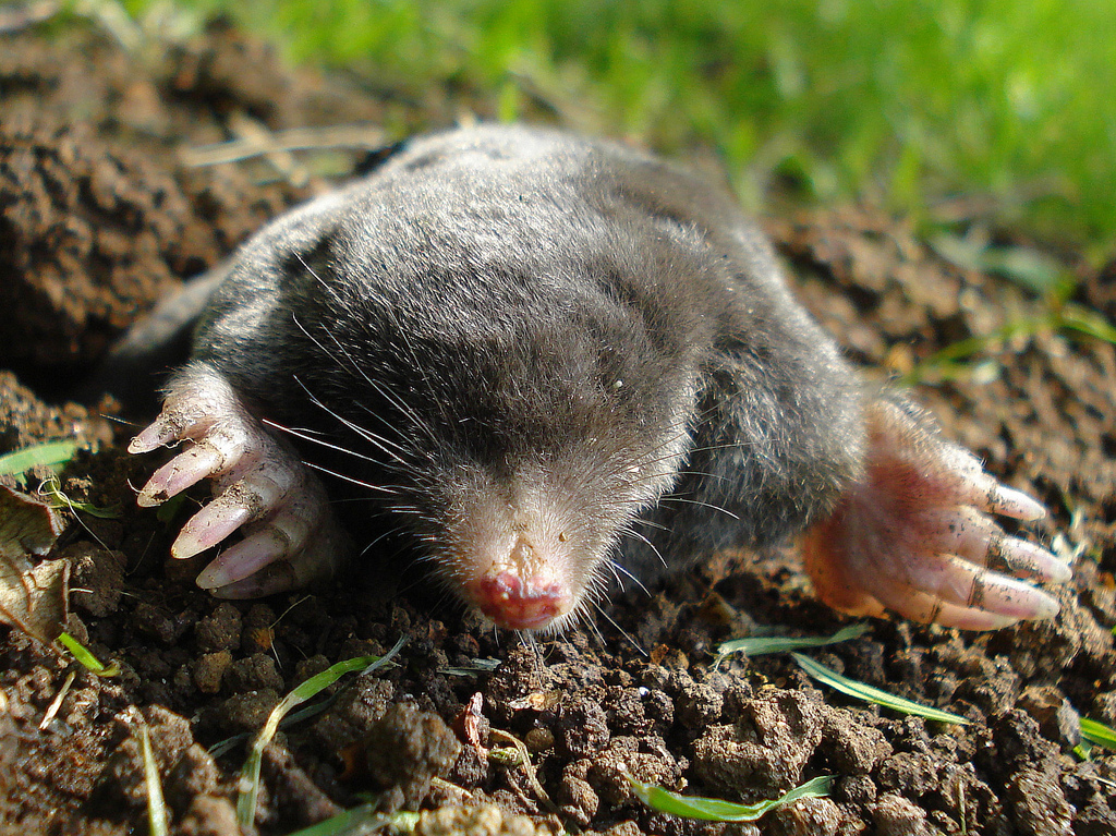 voles in lawn how to get rid of them