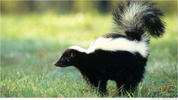 Striped skunk (Mephitis mephitis) spraying, USA